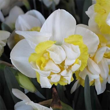 Нарцисс Westward фото цена