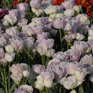 Тюльпан Normandie фото цена