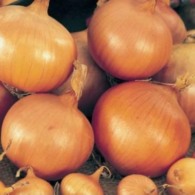 Луковицы из Голландии