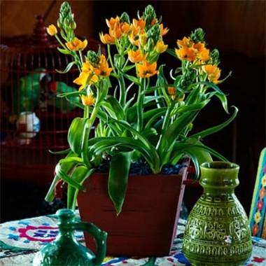 Орнитогалум Dubium Oranje фото
