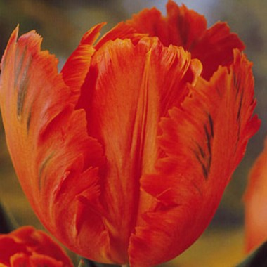 Тюльпан Orange Favourite смотреть