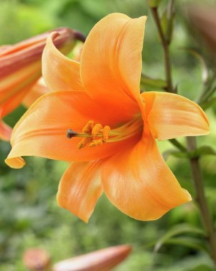 Лилия Orange Planet почтой