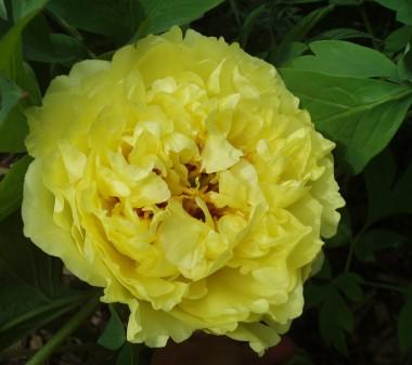 Пион ITOH Yellow Crown смотреть