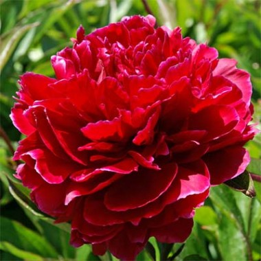Пион Red Sarah Bernhardt (Fiona) фото