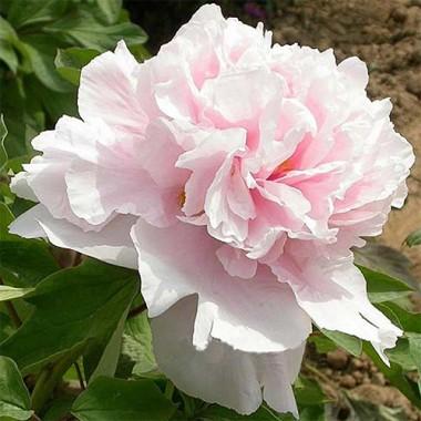 Пион Zhaos Pink Zhao Fen древовидный фото