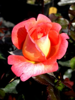 Роза Parfum de Grasse фото цена