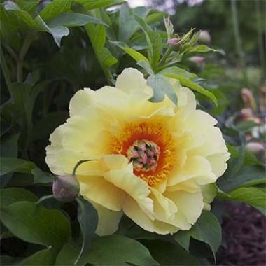 Пион ITOH Garden Treasure фото