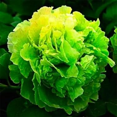 Пион Green Jade Lu Mu Ying Yu древовидный фото