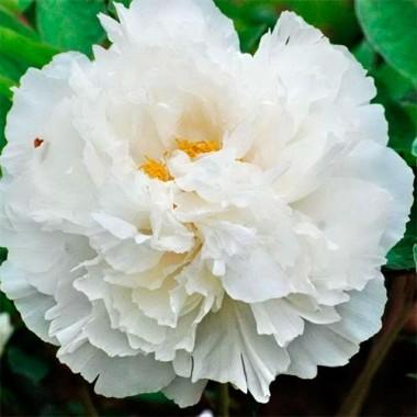 Пион White Snow Bai Xue Gong Zhu древовидный фото
