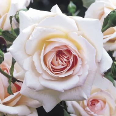 Роза плетистая Penny Lane фото цена