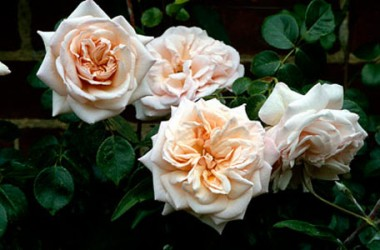 Роза плетистая Penny Lane купить онлайн
