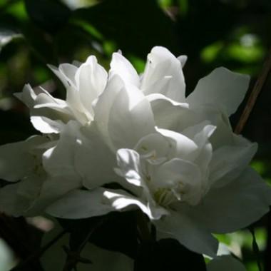 Чубушник Bouquet Blanc смотреть