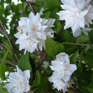 Чубушник Bouquet Blanc в киеве
