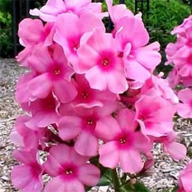 Флокс Flame Pink фото цена