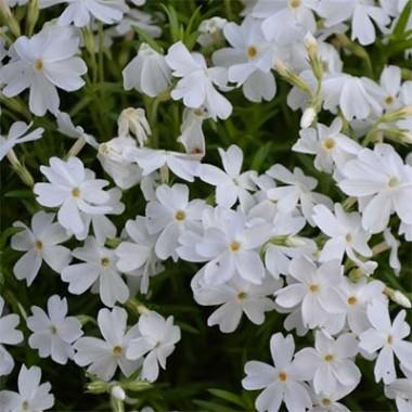 Флокс White Delight фото