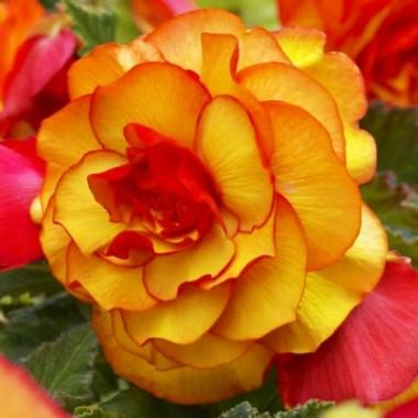 Бегония Picotee Yellow Red фото