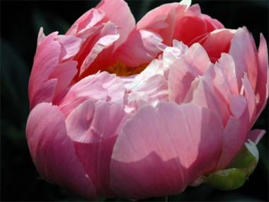 Пион Pink Giant фото цена