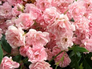 Роза The Fairy описание