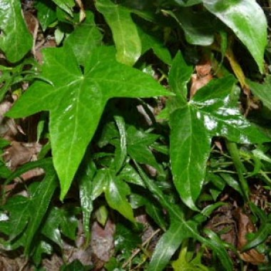 Плющ Pin Oak фото
