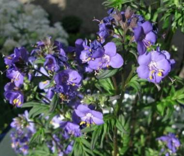 Полемониум Purple Rain почтой