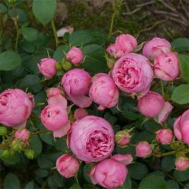 Роза Pomponella смотреть