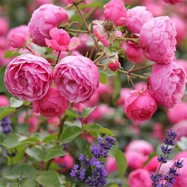 Роза Pomponella в киеве