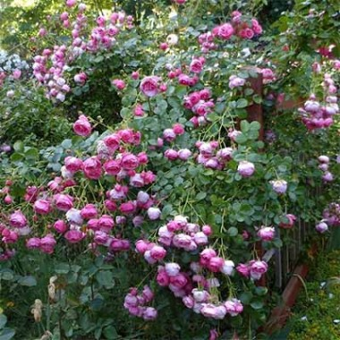Роза Pomponella почтой