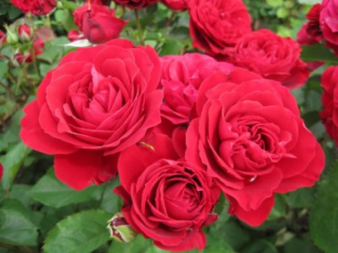 Роза Look Good...Feel Better описание