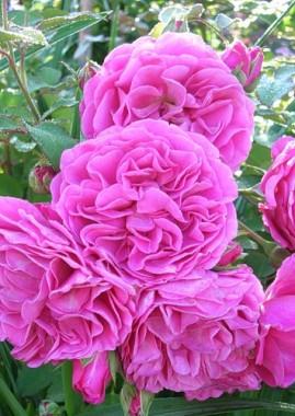 Роза Princess Alexandra фото