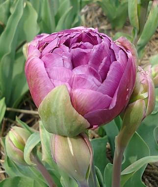 Тюльпан Blue Wow купить онлайн
