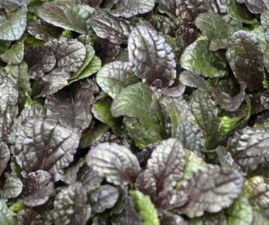 Аюга Purple Brocade описание