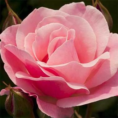 Роза Queen of England смотреть