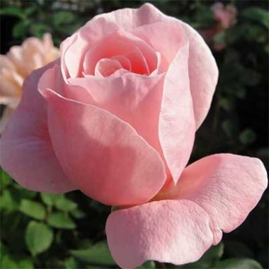 Роза Queen of England почтой