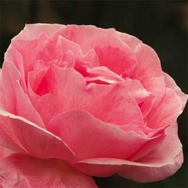 Роза Queen of England интернет-магазин