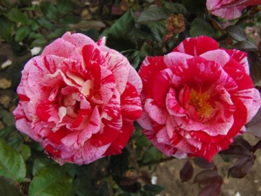 Розы Харкнесc купить