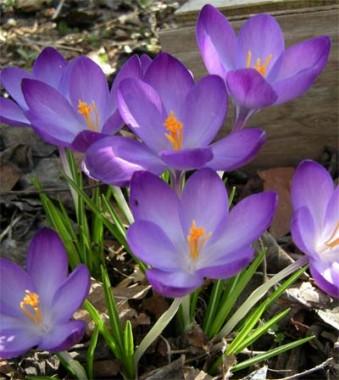 Крупноцветковые крокусы купить