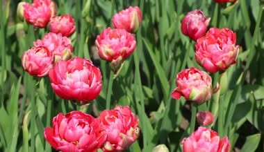 Тюльпан Renown Unique купить онлайн