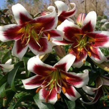 OT лилии гибриды купить