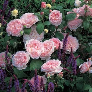Роза Eglantyne почтой