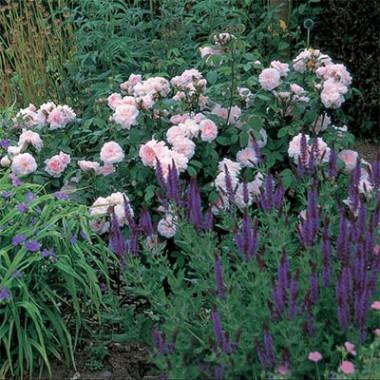 Роза Eglantyne фото цена
