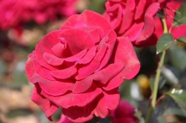 Роза Grande Classe фото цена