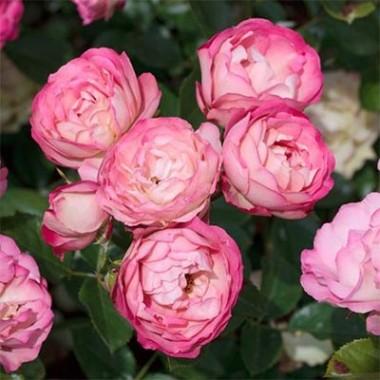 Роза Acropolis фото цена