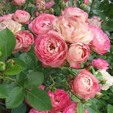 Роза Acropolis смотреть