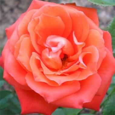 Роза Angelique почтой