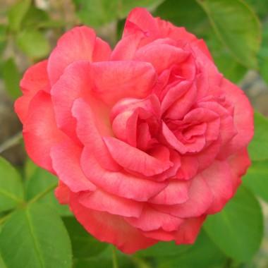 Роза плетистая Antike 89 фото цена