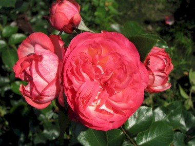 Роза плетистая Antike 89 интернет-магазин