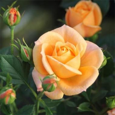 Роза Apricot Clementine описание
