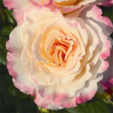 Роза Aquarell описание