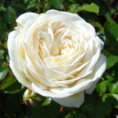 Саженцы роз купить