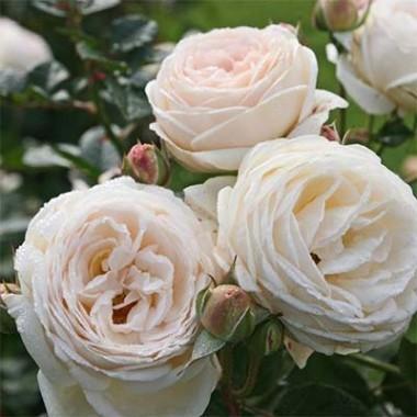 Роза Artemis почтой